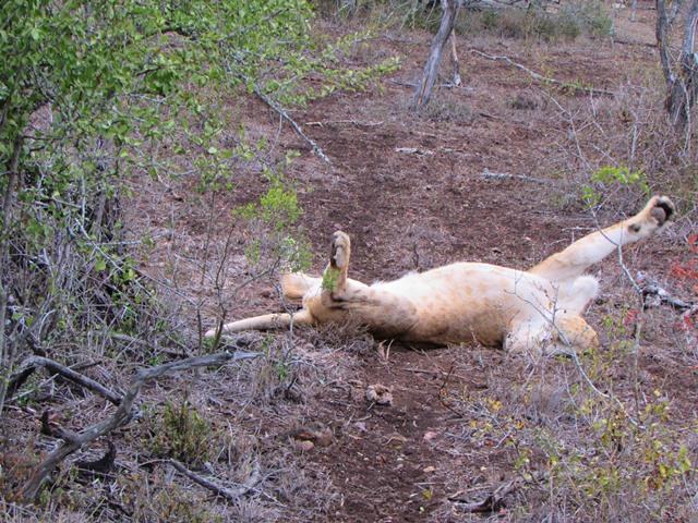 Amakhosi lion playing