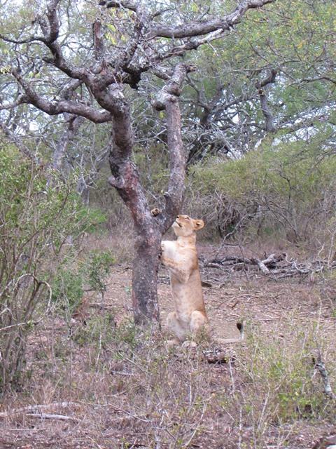 lioness scratching Amakhosi