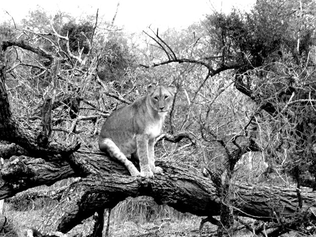 lion in a tree at Amakhosi