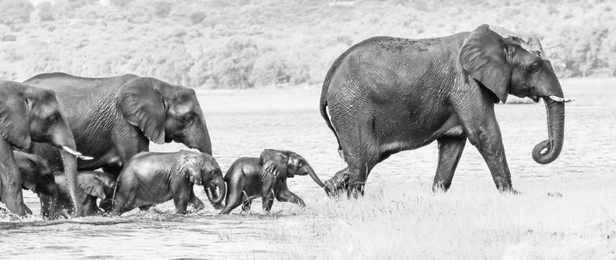 WildWeb, Coronavirus in Africa, Elephants in Botswana