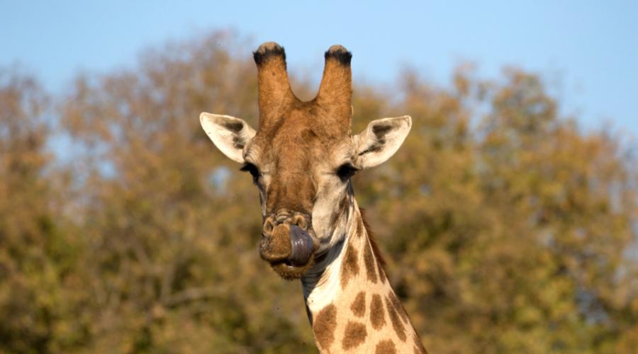 Garonga Safari, Big 5 safari South Africa, giraffe
